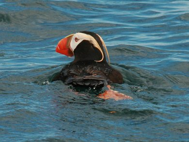 Pelagic birds: Tufted Puffin