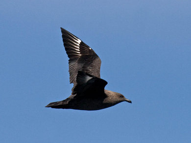 Pelagic birds: South Polar Skua